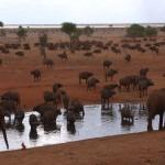 028. buffalo are thirsty