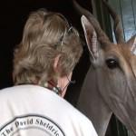 041. KORE is an ex-orphan eland