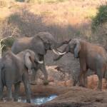 053. wild elephants fighting