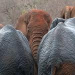 069. no more red elephants in Tsavo