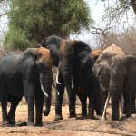 083. real tuskers...