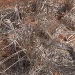 003. Striped Bark Snake