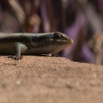 017. Red Sided Skink