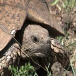019. Leopard Tortoise