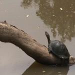 020. Moerasschildpad