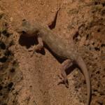 022. Common House Gecko