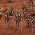 005. Plains zebra