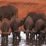 007. buffels drinken dag en nacht
