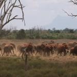 013. olifanten slaan op hol