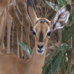 014. Impala kalf
