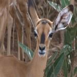 014. Impala calf