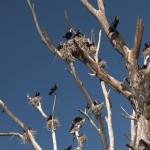 022. Cormorants on love nests