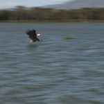 023. African Fish Eagle