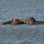 024. Nijlpaard met jong