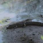 031. Nile Crocodile