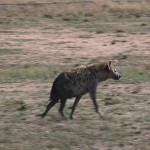037. Hyena patrouilleert