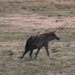 037. Hyena patrols