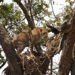042. Leopard on roost