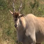 045. Eland Antilope (m)