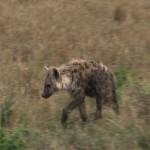 047. young Hyena