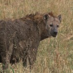 048. Hyena moeder
