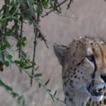 050. cheetah male