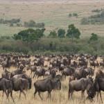 060. wildebeesten migratie