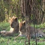 068. lion cubs