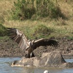 078. vultures eat hippo