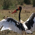 084. Saddle-billed stork