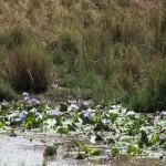 086. blauwe lotus