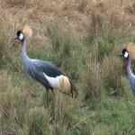 088. Grey Crowned Cranes