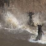 091. wildebeest take the plunge