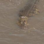 096. mannetjes krokodilen zijn donker van kleur
